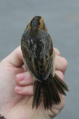 Nelson's Sparrow - adult (Photo by Alex Lamoreaux)