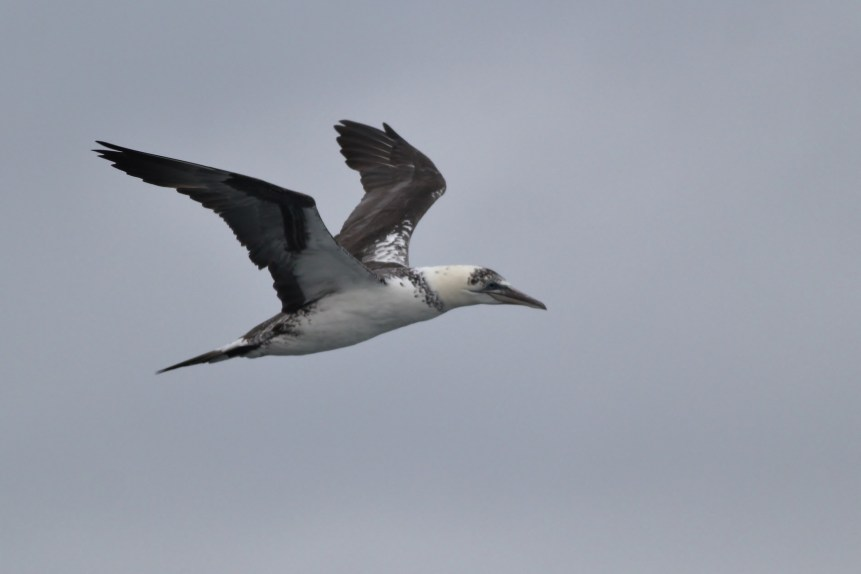 Northern Gannet - 2nd year immature (Photo by Alex Lamoreaux)