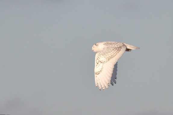 Snowy Owl - Rusnak Hill Rd, Centre County, PA (Photo by Alex Lamoreaux)