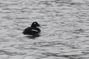 Adult male White-winged Scoter in Will County (Photo by Nathan Goldberg)