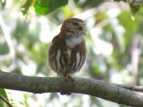 Ferruginous Pygmy-Owl (photo by Drew Weber)