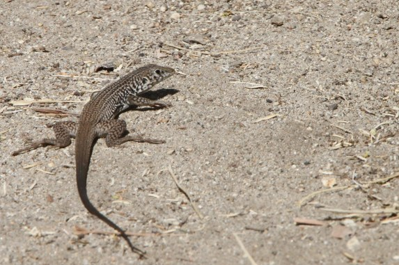 Western/Tiger Whiptail (Photo by Nathan Goldberg)