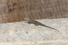 Granite Spiny Lizard -- Sceloporus orcutti (Photo by Nathan Goldberg)