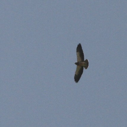 Light morph Swainson's Hawk (Photo by Nathan Goldberg)