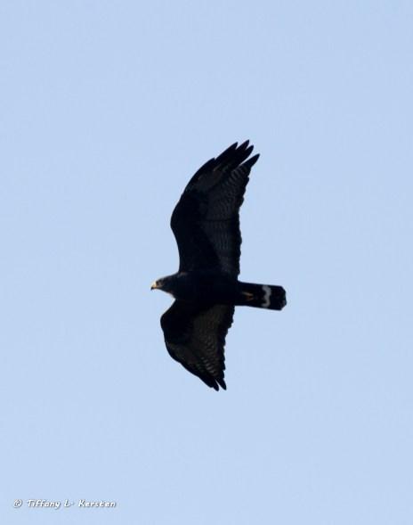 Harris's Hawk (photo by Tiffany Kersten)