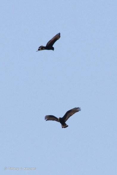 Harris's Hawk, Tubac, AZ (photo by Tiffany Kersten)