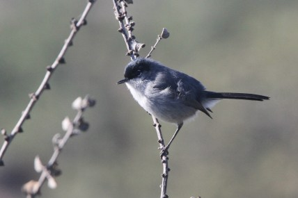 Male California Gnatcatcher (Photo by Nathan Goldberg)
