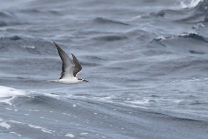 Bridled Tern (Photo by Alex Lamoreaux)