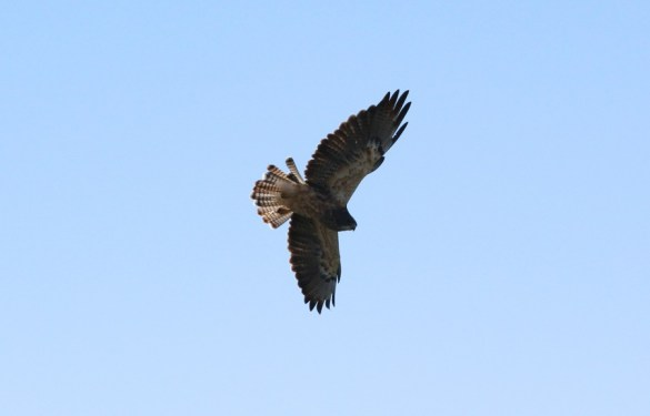 Swainson's Hawk in fight (photo by Steve Brenner)
