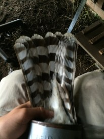 Cooper's hawk tail from below