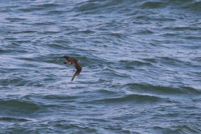 Pomarine Jaeger seen from the Cape May-Lewes Ferry (Photo by Alex Lamoreaux)