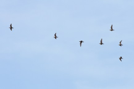 American Golden-Plovers flying over! (Photo by Alex Lamoreaux)