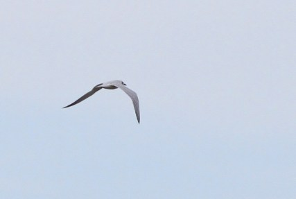 Two Gull-billed Terns (an adult and a juvenile) were a nice surprise one afternoon at Little Creek (Photo by Alex Lamoreaux)