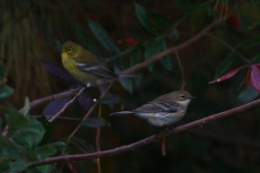 Yellow-rumped Warbler and Pine Warbler (Photo by Alex Lamoreaux)