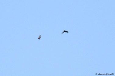 Bat Falcon and Short-tailed Hawk