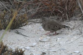 Common Ground-Dove (Photo by Nathan Goldberg)