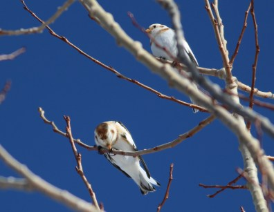 Snow Buntings, Village of East Apple River, Nova Scotia. Photo by Matt Sabatine.