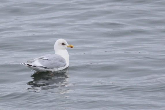 Iceland Gull at Hartlen Point. Photo by Matt Sabatine.