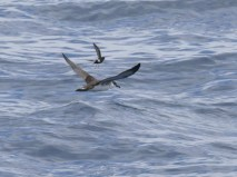 Great Shearwater and Wilson's Storm-Petrel