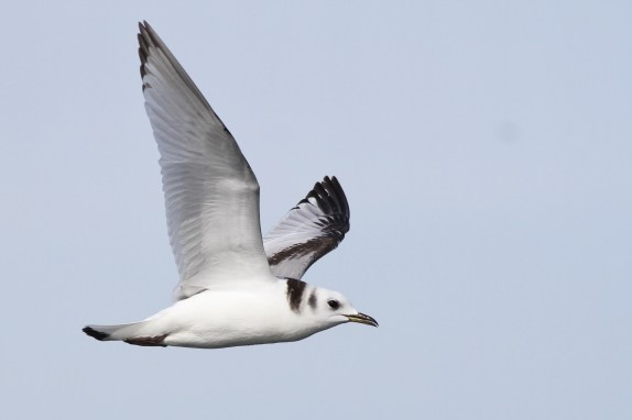 First-winter Black-legged Kittiwake (Photo by Alex Lamoreaux)