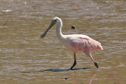 Roseate Spoonbill (Photo by Alex Lamoreaux)