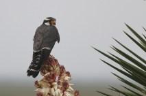 Aplomado Falcon (Photo by Alex Lamoreaux)