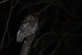 """McCall's"" Eastern Screech Owl (Photo by Alex Lamoreaux)"