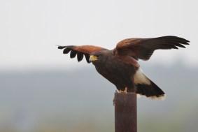 Harris's Hawk (Photo by Alex Lamoreaux)