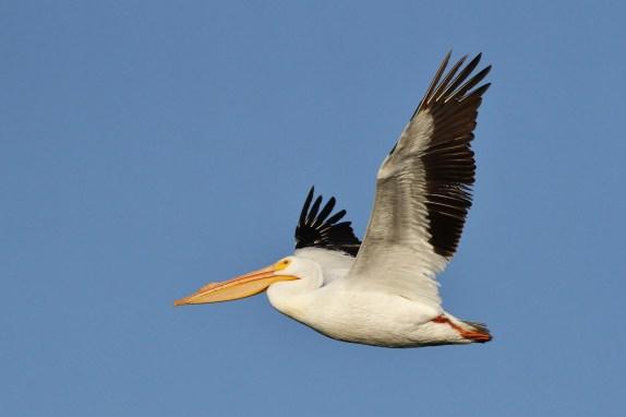 American White Pelican (Photo by Alex Lamoreaux)
