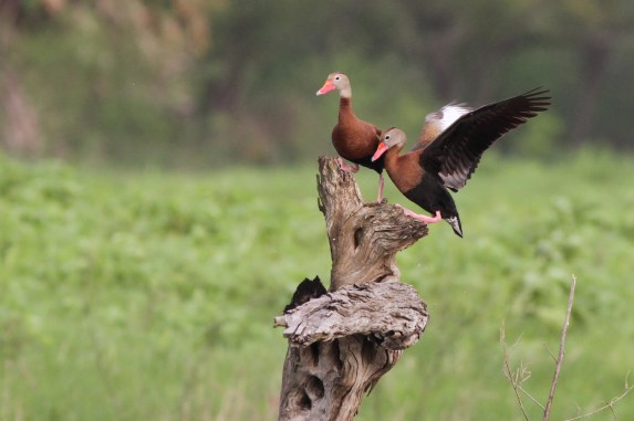 Black-bellied Whistling-Ducks (Photo by Alex Lamoreaux)