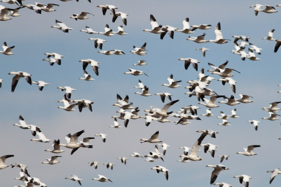 Snow Geese (Photo by Alex Lamoreaux)