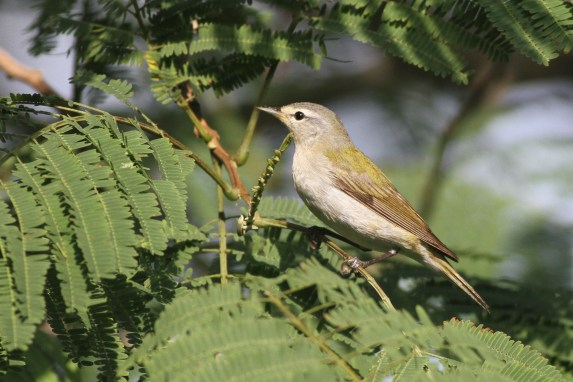 Tennessee Warbler (Photo by Alex Lamoreaux)