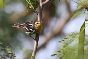 Blackburnian Warbler (Photo by Alex Lamoreaux)