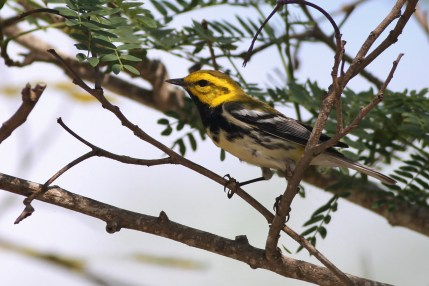 Black-throated Green Warbler (Photo by Alex Lamoreaux)