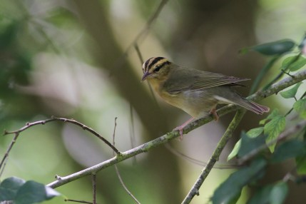 Worm-eating Warbler with tick on its eyebrow (Photo by Alex Lamoreaux)