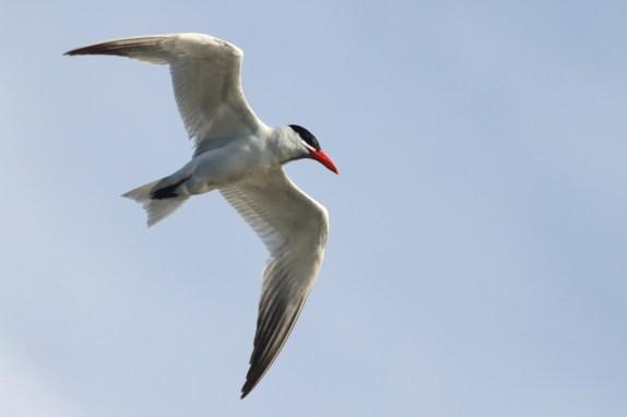 Caspian Tern (adult)