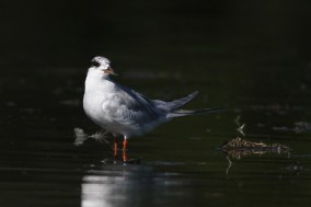 Forster's Tern (adult)