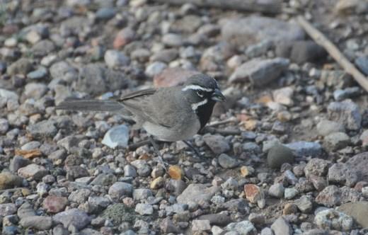 Sparrow'd