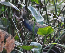 Posing for Audubon