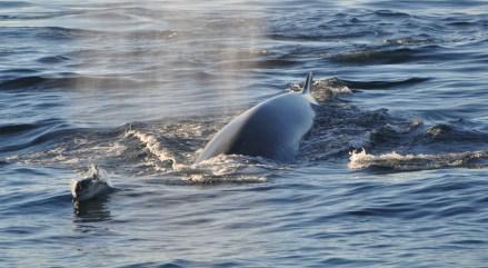 Cetacean congregation