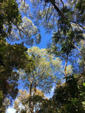 Towering treetops
