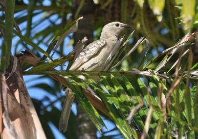 Bowerbird the Great