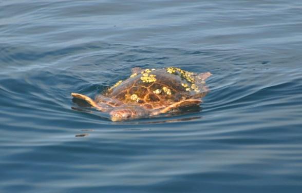 Sea turtles, mate