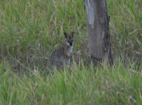 Wallaby damned!