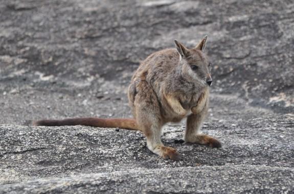 Rock-Wallaby's Modern Life