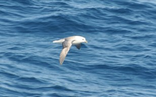 It's a fall of fulmars