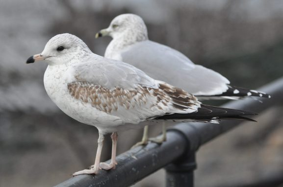 Gulls, gulls, gulls