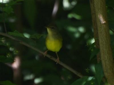 Watchful warbler