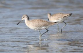 Where there's a Willet, there's a way