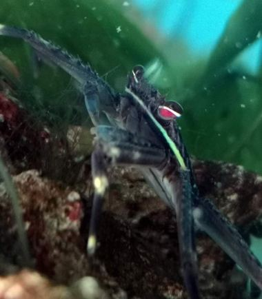Algenfressende Krabbe